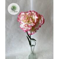 Szegfű krém-rózsaszín 60cm