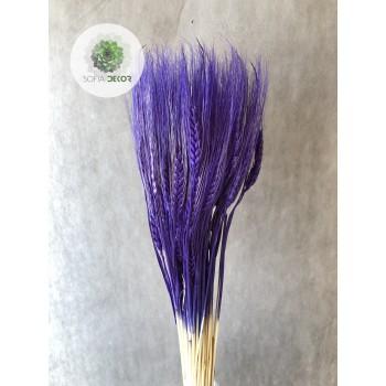 Búza szakállas lila